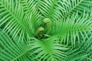 fern circle of fiddleheads