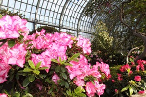 E_EXHIBITS_Spring Flower Show 15_azaleas-closeup