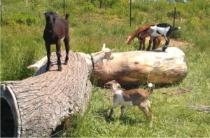 Goats on a Log at Garfield Park Conservatory