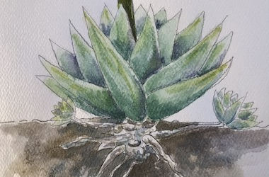 A watercolor painting of an agave plant above and below ground.