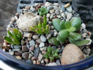 Close-up of succulent terrarium plants and rocks