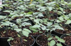 Many tomato seedlings in pots