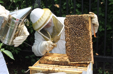 Beekeeper in veil looking at a frame of bees