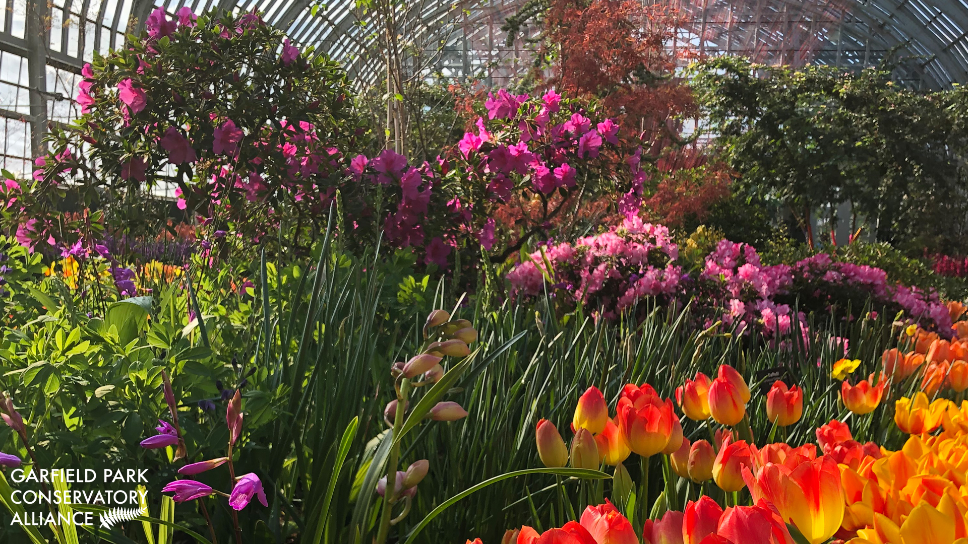 Spring Show with blooming red and yellow tulips, pink flowers in background
