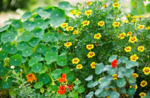 nasturtiums and yellow flowers in the Demo Garden