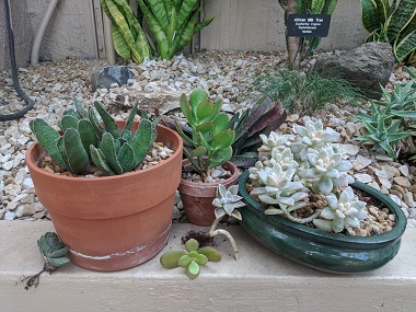 3 succulents in pots with small cuttings next to them