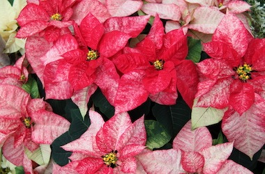 A close up of red and pink spotted poinsettias from the 2019 Winter Flower Show