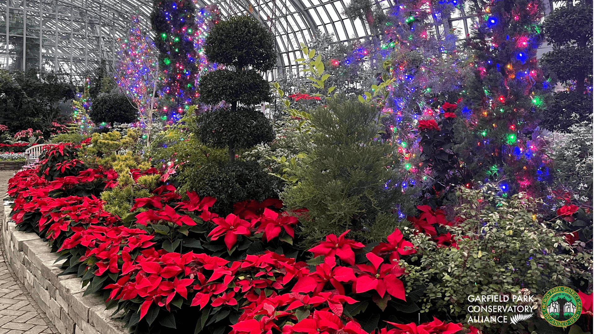 Red poinsettias in the Conservator's Show House with a backdrop of green plants, some with purple and colored lights.
