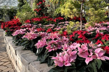 Pink and red poinsettia flowers with conifers in the background