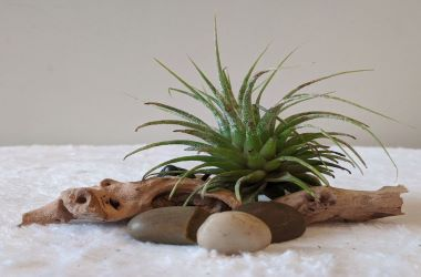Small spiky light green air plant on a piece of driftwood with 3 smooth pebbles in front